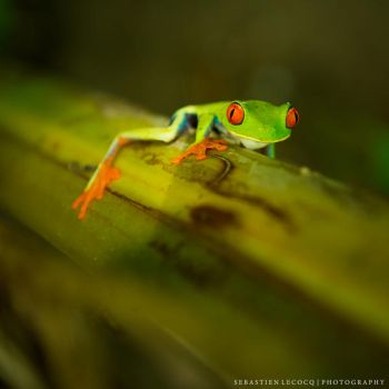 Costa Rica | Red Eyed by lux69aeterna
