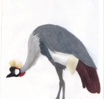 Grey crowned crane by parrot33