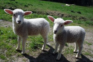 Lambs by 47X