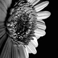 Gerbera in black and white II by serel