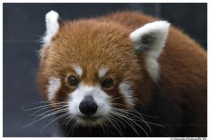 Red Panda Portrait III by TVD-Photography