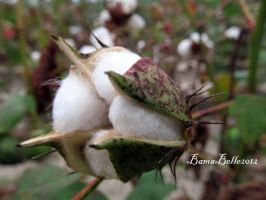 Blooming Cotton by BamaBelle2012