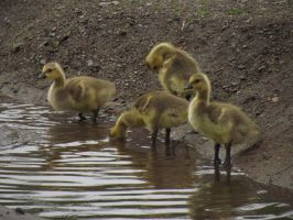 Baby Geese 1 by horsecrazycool