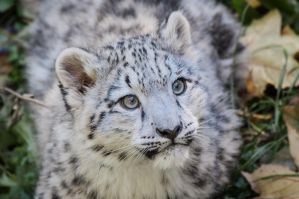 Snowleopard, Stuttgart VIII #CUB VERSION by FGW-Photography