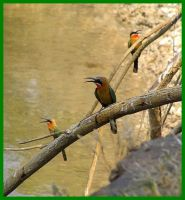Bee Eaters Botswana Okovango by Jenvanw