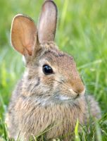 Courage the Bunny by WoodenOx