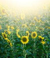 Sunshine and Sunflowers by SophiGrazh