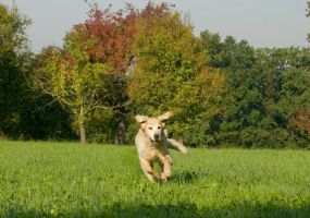 Golden Retriever in the jump 3 by archaeopteryx-stocks