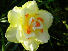 Narcissus Tahiti by TheLordTaxus