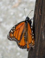 Monarch Butterfly 3 by OneofakindKnight