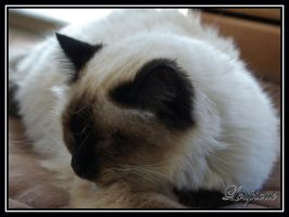 Birman cats 1 by Loupiotte1203
