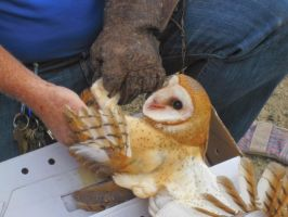 Barn Owl 3 by Shortwinger
