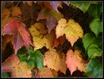 Autumn Leaves Wall by kanes
