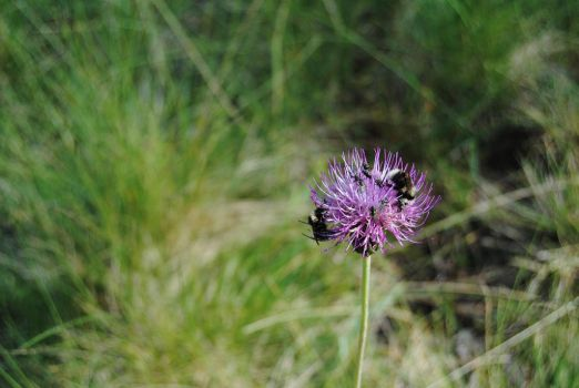 Thistle by AanZku