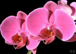 ORCHIDS AND BLACK by Traveaso