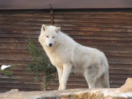 North American Arctic Wolf 106 by animalphotos