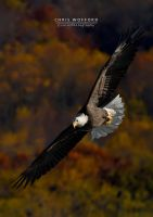 Fall Eagle by w4graphics