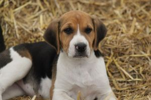 English Foxhound Pup by lucky128stocks