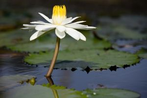 White Water Lily by secondclaw