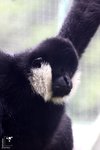 White Cheeked Gibbon by Panda-Luna