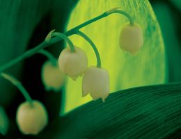 Lily of the valley by sanjab