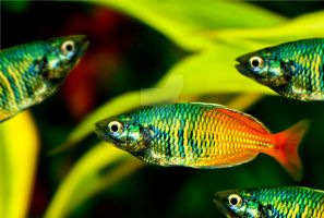 Rainbow fish by carsonblack