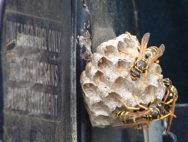 Yellow Jacket Wasps Nesting 6 by FantasyStock