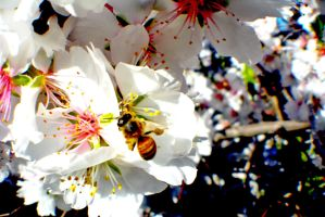 Almond Blossom Bee-D by OPTILUX