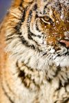 Siberian Tiger by catman-suha