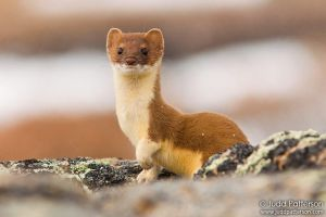 Ermine by juddpatterson