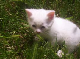 White Kitten in Green Grass by LadyIlona1984