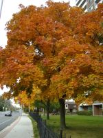 Canadian Fall Colours 38 by Aswang301
