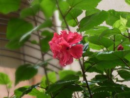 Another Hibiscus by Laxmi-Arts