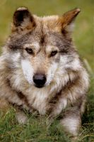 Mexican Wolf 6 by Art-Photo