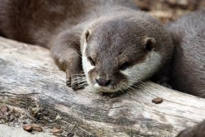 Resting Otter by JaneFox
