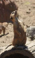 Meerkat I by CharlieRoz