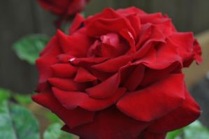 a beauty of a rose by snoogaloo