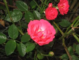 Pink rose 1 by yasha1992sStock