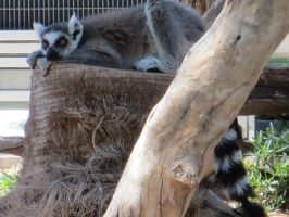 Ring-Tailed Lemur by LeraDraco69