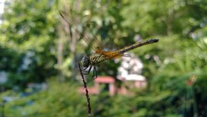 Nature in Details: Dragonfly by SneakyC2