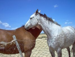 Couples horses stock 4 by SemmyStock
