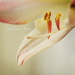 Amaryllis IV by apricot-dreaming