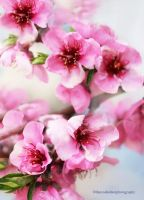 Peach Flower Blossom by theresahelmer