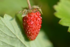 Wild strawberry 2 by dorenna