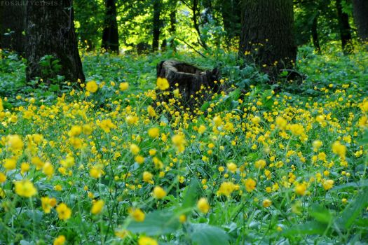 Buttercups in the park by rosaarvensis