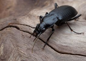 14.Black beetle by Bullter