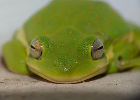 Tree Frog face by duggiehoo