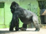 Large silverback gorilla by photographyflower
