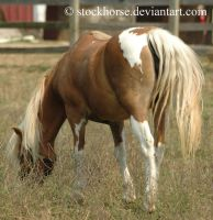 Miniature Horse 3 by stockhorse
