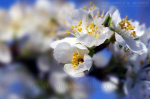 Plum Blossom 9 by KSMPhotography